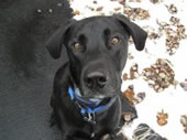 Bauer Benell believed to be a Labrador Retriever and DNA shows he is a German Shepherd/Great Dane mix.